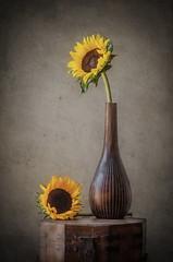 Girasoles.. (JACRIS08) Tags: bodegon stilllife yellow girasol flores flowers