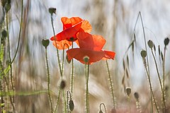 in mezzo al campo (mat56.) Tags: papaveri poppies fiori flowers prato campo erba grass natura nature sancolombanoallambro campagna milano lombardia pianura padana rosso red antonio romei mat56