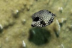 Juvenile Smooth Trunkfish_Fuel Dock_Bonaire_June 2017 (R13X) Tags: bonaire underwaterphotography underwatermacrophotography scubadiving diving denlaman dutchcaribbean dutchislands shorediving nikon nikon105mm nikon60mm d7200 juvenilesmoothtrunkfish barireef somethingspecial saltpier torisreef