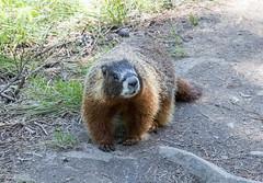 Varmint (Yellow-bellied Marmot) (repete7) Tags: grandtetonnationalpark wyoming unitedstates marmot yellowbelliedmarmot