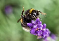 bumblebee yoga (Simple_Sight) Tags: bumblebee bee insect animal lavender flower plant garden outdoors green purple bokeh mcro closeup yoga gymnastics