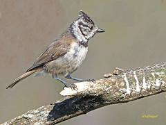 Herrerillo capuchino (Lophophanes cristatus) (12) (eb3alfmiguel) Tags: aves pajáros insectívoros passeriformes paridae herrerillocapuchino