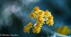 dark study (frederic.gombert) Tags: sun sunlight dark flower contast yellow darkness color colors flowers garden plant macro nikon