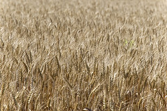 'Bout Ready to Harvest (joeldinda) Tags: nikon d500 nikond500 2017 michigan eatoncounty roxandtownship roxana fields wheat 3693 july 186365