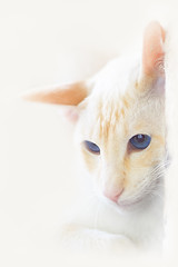 'Rosie' (Jonathan Casey) Tags: cat rescue siamese red point nikon d810 105mm vr f28 high key