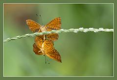 Mating butterflies (Jan H. Boer, Nature photographer) Tags: butterflies insects mating nature macro costarica turrúcares nikon d5200 afsnikkor200500f56eedvr jan´sphotostream2017