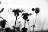 Black thistle (grundi1) Tags: sony alpha 68 ilca a68 sigma1770f2845dcmacro verlaufsfilter sunset sonnenuntergang disteln thistle schwarz weis black white vanagram flower blume blackandwhite nature sigma 1770 f2845