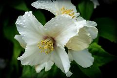 Mock Orange (Graham'M) Tags: mockorange philadelphus belleetoile flower flora shrub garden