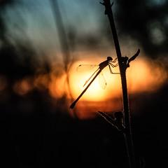 Doucement s'en va  le jour.... (omj11) Tags: insectes minimaliste coucherdesoleil carré libellules insecte contrejour macro
