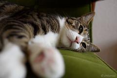 _DSC9931 (catfish.boogie) Tags: nikond750 tamronsp35mmf18divcusd japan hokkaido sapporo cat
