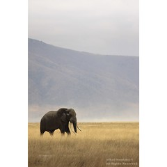 Solitary Bull Elephant (mikel.hendriks) Tags: africa elephant male landscape tanzania photo bush solitude alone foto african wildlife ivory bull east safari ngorongoro photograph single lone afrika lonely elephants ngorongorocrater sole solitary stroll loner tusks solitaire olifant africanelephant landschap tusk biggame facts oost krater strolling lonesome eenzaam tusker olifanten bul naturesfinest incisors savanne loxodontaafricana bullelephant solitair supershot eenzame africanbushelephant tusked afrikaanse ivoor specanimal slagtanden animalkingdomelite afrikaanseolifant canoneos50d ivoren impressedbeauty bestofanimals savanneolifant bushelephant sigma120400mmf4556apodgoshsm getand afgezonderd dominanttusk mastertusk alleenlevend wistjedatjes dominanteslagtand snijtanden