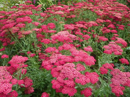 Tips For Achillea Or Yarrow All Heal Bloodwort Gardeners Tips