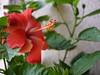 ... tropical hibiscus (dinesh_valke) Tags: evergreen hibiscus hibisco tropical malvaceae hibiscusrosasinensis shrub perennial cayena gumamela ibisco chuchin bungaraya shoeflower chinarose tropicalhibiscus naturesfinest hawaiianflower chinesehibiscus roseofchina rosadechina hawaiianhibiscus mallowfamily fusang rosedechine sembaruthi chineseroos gurhal chemparati jaswand dosniphool jubakusumathonba queenofthetropics hibiscuschinensis blackingplant bussoge chihchin chinesischerroseneibisch cingulu claveljaponés feuilleschoublak hibiskukset jihchi khatmahsiniyah rosadellacina rusang schoensmeerplant sehempariti shoeblackplant worowari