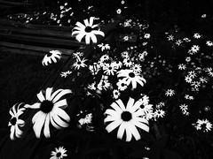 Fences and Flowers BW (dbnunley) Tags: blackandwhite bw flower daisies fence finepix blueridgeparkway blackeyedsusan hs10