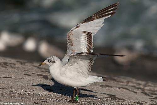 Mediterranean Gull, 2cy, G[2S2]