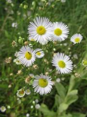 White Fleabane (Laura Christina A.) Tags: white fleabane falcatus virgulus natureseconomy2010 natureseconomy Phenotype:Flower=fullyopen