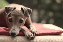 Ambition is a poor excuse for not having sense enough to be lazy (Milan Kundera) (Dada Mar) Tags: dog dof italiangreyhound