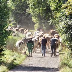 Bringing up the rears (mepikz) Tags: cows sony yorkshire lane farmer kirkburton rears a700 kirklees mygearandme