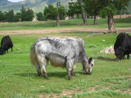 silver yak