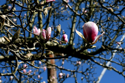 Saturday: Blue Skies! Magnolia!