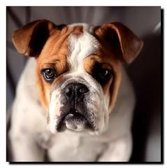 Vigo, una maana de domingo (DurKeN) Tags: valencia mos bull bulldog ojosverdes bully vigo allrightsreserved bulldogingls 21052010 sobradobulldogs babydecavanelacans