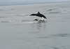 """Costa Rica Dolphins Jumping • <a style=""""font-size:0.8em;"""" href=""""https://www.flickr.com/photos/46837553@N03/4964984484/"""" target=""""_blank"""">View on Flickr</a>"""