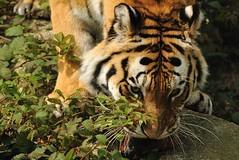 Tiger (Ami 211) Tags: tiger bigcats panthera pantheratigris felidae pantherinae