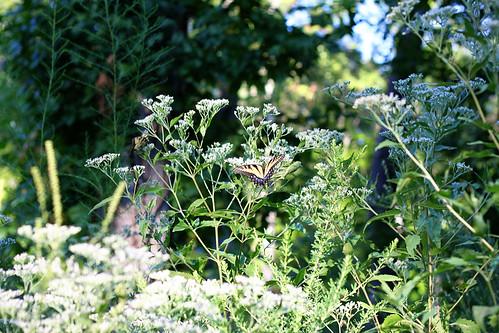 butterfly 9.6 (155.)
