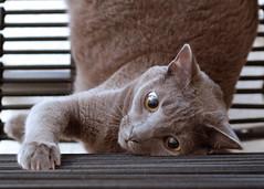 Chairing (EButterfield Photography) Tags: cats cat chat domestic gato bungee  gatto kater kot gimli  kaz korat dsh chaton gattino cb2 katti  quttah chasul kotyonok studioofficechair
