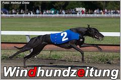 Greyhound Hündin Reachfar Viera, Belgien