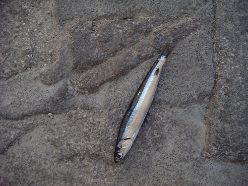 Lost Sardine