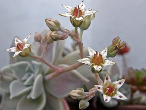 florcitas de suculenta
