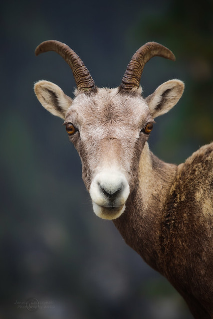 Gung Hay Fat Choy - Happy Chinese Lunar New Year - February 19th 2015 ( Bighorn Ewe - female)
