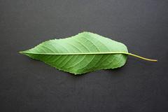 Cerezo Prunus avium - Hoja Envés