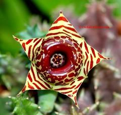 Huernia zebrina (thaieyes) Tags: flowers macro closeup southafrica flora bokeh species botany genus tropicalplants eastafrica flowerphotography huerniazebrina sukkulents wonderfulworldofflowers