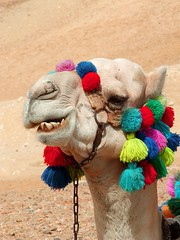 """Funny Camel • <a style=""""font-size:0.8em;"""" href=""""http://www.flickr.com/photos/10919309@N05/4982343090/"""" target=""""_blank"""">View on Flickr</a>"""