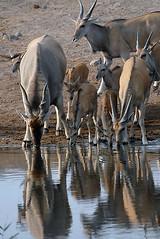 Elands Drinking, Etosha
