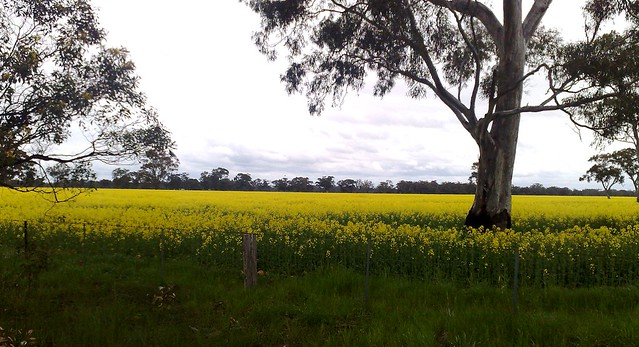 Canola crop near Nagambie
