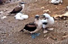 Maternit (flamtom) Tags: ecuador nikon galapagos uccelli viaggi animali sule maternit flamtom