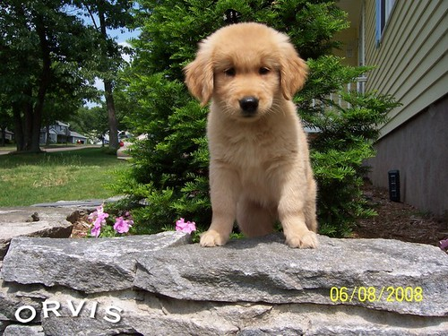 Orvis Cover Dog Contest - Scout