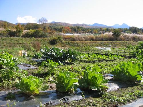 10月末の畑/大根・白菜・ブロッコリーなど by Poran111