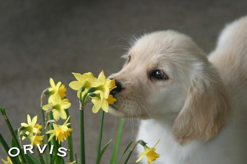 Orvis Cover Dog Contest - Kai