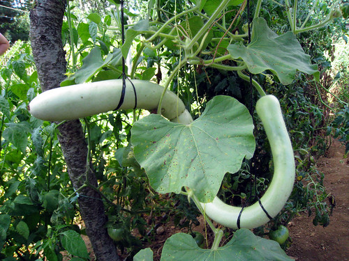 Huge cucumber in Oluklu