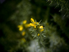 (_Zahira_) Tags: flowers light flores detalle flower macro verde green luz water yellow lafotodelasemana drops agua little flor olympus gotas amarillo nd pequeño ngr e500 uro ltytr2 ltytr1 ltytr3 50mmom 50omf18