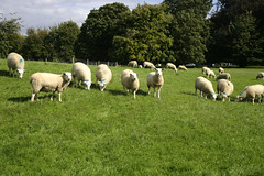 Lunch Time! (Adam Swaine) Tags: county uk blue trees england green english beautiful animals rural canon landscape countryside flora britain east grazing 2010 counties polesdenlacey naturelovers flockofsheep thisphotorocks surreynt