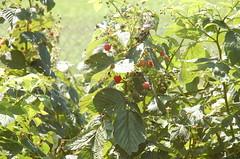 "Lovely Raspberries <a style=""margin-left:10px; font-size:0.8em;"" href=""http://www.flickr.com/photos/91915217@N00/4994640497/"" target=""_blank"">@flickr</a>"