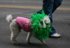 Irish poodle (Studiobaker) Tags: pink people irish dog white green saint minnesota st shirt paul march sweater clothing day walk patrick pauls parade celebration boa poodle doggy patricks leash tradition 2008 mn owner lowertown studiobaker