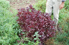 "Purple Shiso <a style=""margin-left:10px; font-size:0.8em;"" href=""http://www.flickr.com/photos/91915217@N00/4995243864/"" target=""_blank"">@flickr</a>"