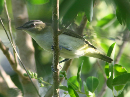 Red-eyed Vireo 20100916