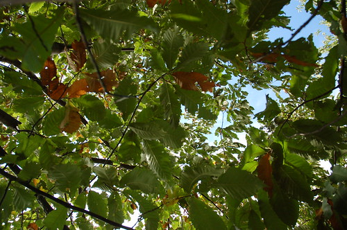 "Chestnut Canopy <a style=""margin-left:10px; font-size:0.8em;"" href=""http://www.flickr.com/photos/91915217@N00/4997197093/"" target=""_blank"">@flickr</a>"